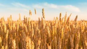Sonniges goldenes Weizenfeld mit blauem Himmel Lizenzfreie Stockfotografie