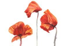 Sonniges lokalisiertes Aquarell der Mohnblume lizenzfreie stockbilder