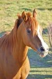 Sonniges Pferd auf dem Bauernhof Stockfotos