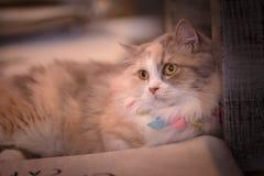 Sonno accartocciato gattino maschio del gatto di soriano Fotografia Stock Libera da Diritti