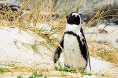 Sonno africano sveglio del pinguino immagine stock