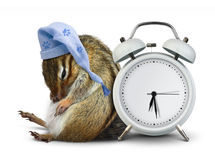 Sonno animale divertente della tamia con l'orologio in bianco ed il cappello di sonno Fotografie Stock Libere da Diritti