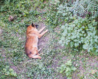 Sonno arancio del cane nell'iarda dell'erba Fotografia Stock Libera da Diritti