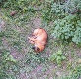 Sonno arancio del cane nell'iarda dell'erba Fotografie Stock