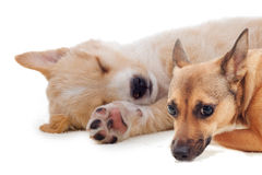 Sonno beige del cucciolo Immagine Stock