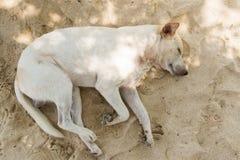 Sonno bianco del cane Fotografia Stock Libera da Diritti
