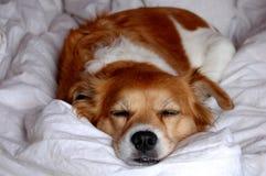 Sonno bianco del cane di Brown Immagini Stock Libere da Diritti
