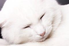 Sonno bianco del gatto immagini stock