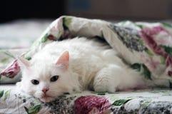 Sonno bianco del gatto Fotografie Stock