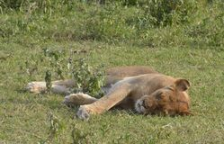 Sonno bianco del leone Fotografia Stock