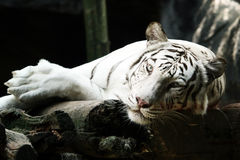 Sonno bianco della tigre fotografia stock libera da diritti