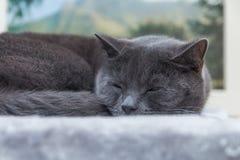 Sonno britannico del gatto dei peli di scarsità Fotografia Stock Libera da Diritti