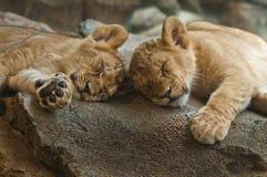 Sonno Cubs Immagine Stock Libera da Diritti