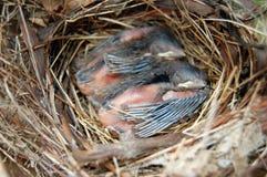 Sonno dei cardinali del bambino Fotografia Stock Libera da Diritti