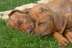 Sonno dei cuccioli del ridgeback di Rhodesian Fotografia Stock Libera da Diritti