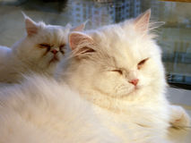 Sonno dei gatti Immagine Stock Libera da Diritti