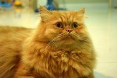 Sonno dei gatti persiani nella stanza Fotografie Stock Libere da Diritti