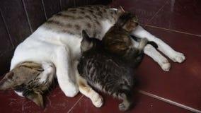 Sonno dei gattini con la mamma sul pavimento stock footage