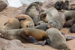 Sonno dei leoni marini Fotografia Stock
