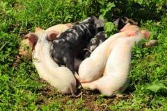 Sonno dei porcellini Fotografia Stock