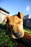 Sonno del cane Immagini Stock Libere da Diritti