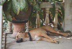 Sonno del cane a casa Immagine Stock Libera da Diritti