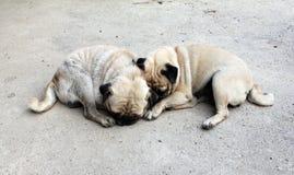 Sonno del cane del carlino insieme Fotografie Stock