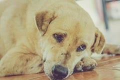 Sonno del cane della Tailandia Immagini Stock Libere da Diritti