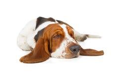 Sonno del cane di Basset Hound fotografie stock libere da diritti