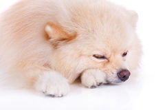 Sonno del cane di Pomeranian Immagini Stock