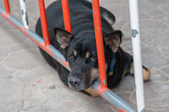 Sonno del cane nero sulla barriera di traffico Immagine Stock Libera da Diritti