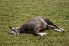 Sonno del cavallo fuori sul pascolo Fotografie Stock Libere da Diritti
