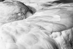 Sonno del cigno Fotografie Stock