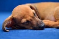 Sonno del cucciolo del bassotto tedesco su un fondo blu Fotografia Stock Libera da Diritti