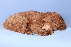 Sonno del cucciolo del barboncino di giocattolo Fotografia Stock Libera da Diritti