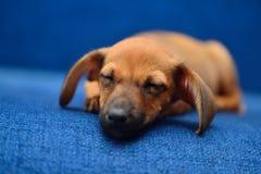 Sonno del cucciolo del bassotto tedesco su un fondo blu Fotografie Stock