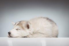 Sonno del cucciolo del husky del primo piano Fotografia Stock Libera da Diritti