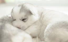 Sonno del cucciolo del husky siberiano Immagine Stock
