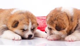 Sonno del cucciolo di Akita-inu del giapponese sopra bianco Fotografie Stock