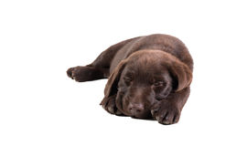 Sonno del cucciolo di Brown labrador retriever Fotografie Stock