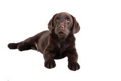 Sonno del cucciolo di Brown labrador retriever Immagine Stock