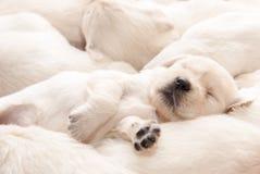 Sonno del cucciolo di golden retriever Fotografia Stock Libera da Diritti