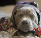 Sonno del cucciolo di Pit Bull Fotografie Stock