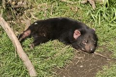Sonno del diavolo tasmaniano Immagini Stock Libere da Diritti