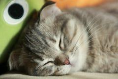 Sonno del gattino Fotografie Stock Libere da Diritti
