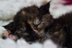 sonno del gattino Immagine Stock