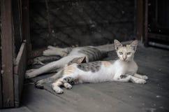 Sonno del gatto delle coppie Fotografie Stock Libere da Diritti