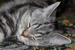 Sonno del gatto di soriano Fotografia Stock