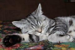 Sonno del gatto di soriano Immagini Stock