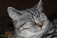 Sonno del gatto di soriano Fotografie Stock